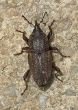 Billbug Snout Beetle