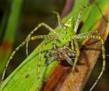 Green Lynx Spider with Prey