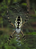 Male, dorsal