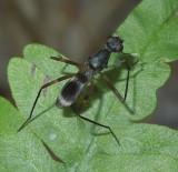 Stilt-legged Flies, Marsh flies, and Thick-headed Flies