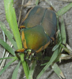 Green June Beetle (June Bug)