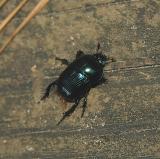 Glossy Pillbug