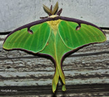 Luna Moth March 21