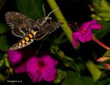 Hummingbird Moth March 30