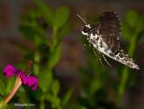 Hummingbird Moth March 31
