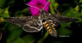Hummingbird Moth April 1