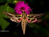 Hummingbird Moth April 14