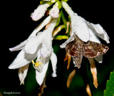 Hummingbird Moth August 14