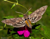HummingBird Moth August 15