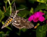 HummingBird Moth August 21