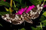 HumminbBird Moth August 23