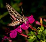 White-lined Sphinx HummingBird Moth August 28