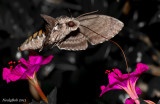 HummingBird Moth August 31