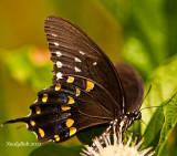 SpiceBush Swallowtail September 2