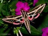 HummingBird Moth September 5