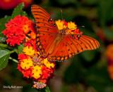 Butterfly On Lantana October 20