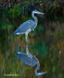 Great Blue Heron November 4