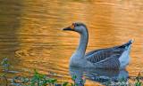Goose November 5