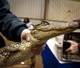 Alligator January 22