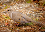 Mourning Dove March 17