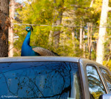 Peacock On A Pickup March 18