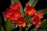 Kaffir Lily April 10