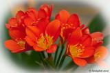 Kaffir Lily April 13