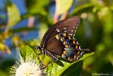 Spicebush Swallowtail June 4