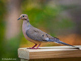 Mourning Dove June 26