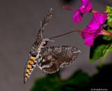 Hummingbird Moth July 12