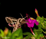 Hummingbird Moth