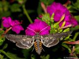 Hummingbird Moth July 29