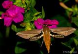 Hummingbird Moth August 2