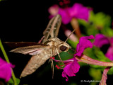 Hummingbird Moth August 3