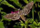 Hummingbird Moth August 5