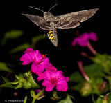 Hummingbird Moth August 7