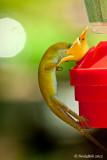 Thirsty Lizard August 8
