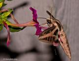 Hummingbird Moth August 9