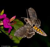 Hummingbird Moth August 11