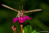 Hummingbird Moth August 17