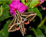 Hummingbird Moth August 23