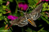 Hummingbird Moths August 24