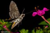 HummingBird Moth August 26