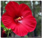Hibiscus December 20 *