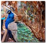 Peacock January 28 *