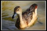 Lesser Whistling-Duck.jpg