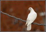 Pigeon biset / Rock Dove