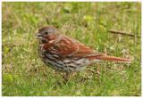 Bruant fauve / Fox Sparrow