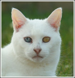 Chat et chien aux yeux vairons / Odd-eyed cat and dog