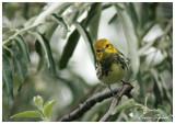 Paruline à gorge noire / Black-throated Green Warbler